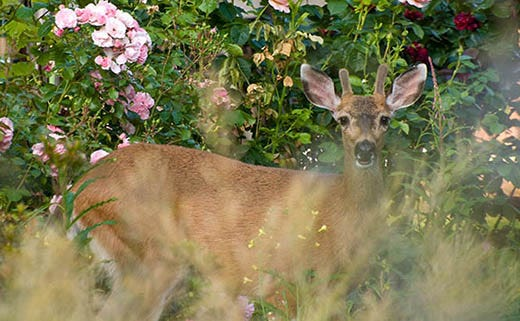 Deer-Proofing a Lawn