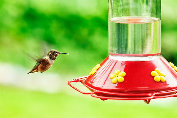 Having trouble with attracting hummingbirds? Change your nectar more often — it could be spoiling.