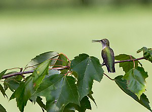 Hummingbirds will often wait in a nearby tree for space at a hummingbird feeder.