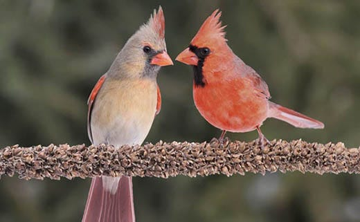 Attract More Cardinals to the Yard