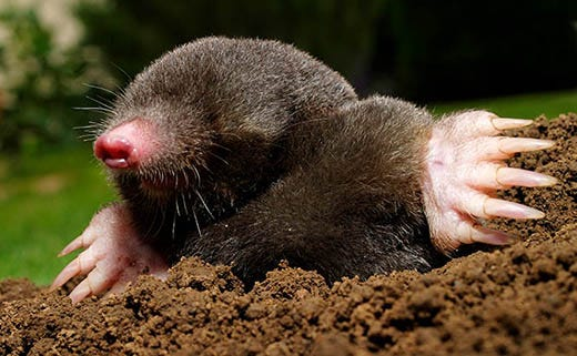 7 Reasons to Deal With Moles Immediately