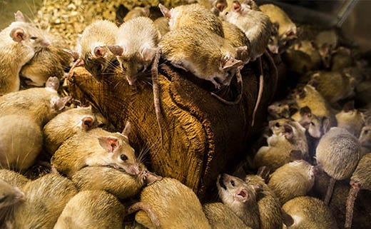Rat & Mouse Control in Barns