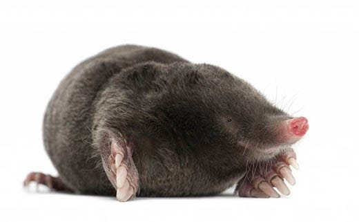 Common Myths About Moles