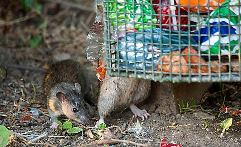 Trap Rats Outside Before They Get In