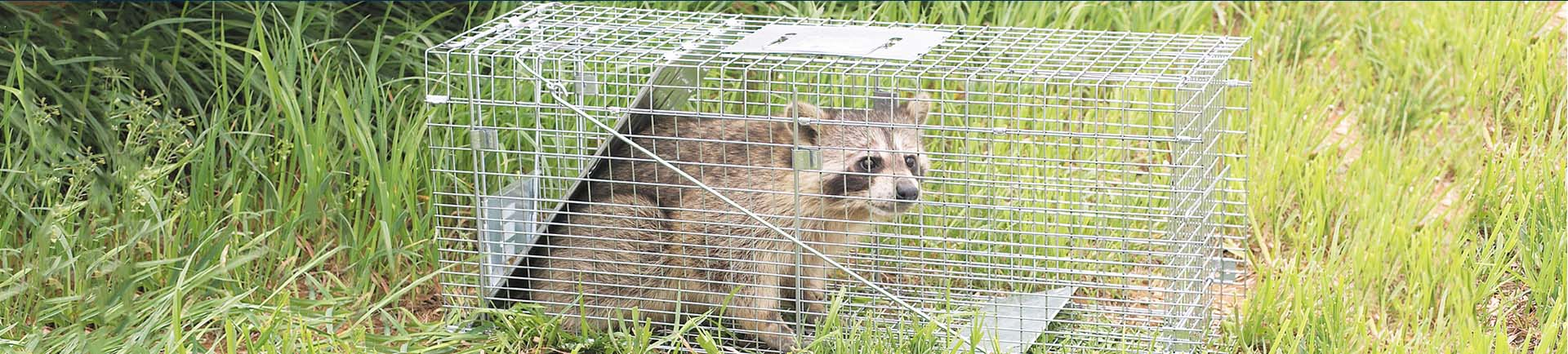 A raccoon caught safely in a Havahart trap