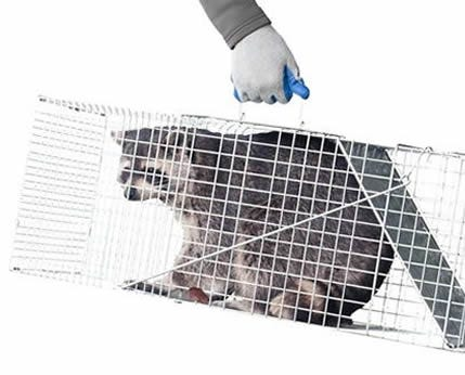 A raccoon caught in a Havahart trap