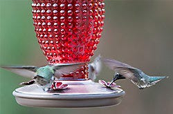 Perky-Pet Red Hobnail Vintage Hummingbird Feeder